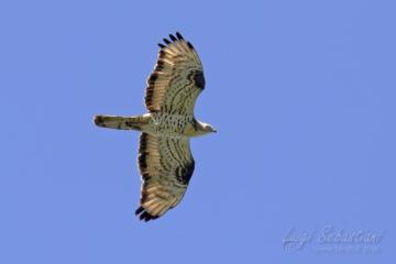 Falco pecchiaiolo