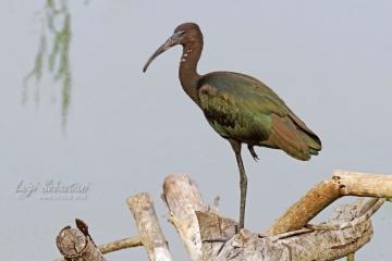 Ibis, glossy