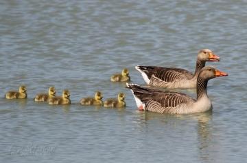 Goose, greylag