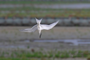 Tern, Sandwich