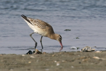Godwit, Bar-tailed