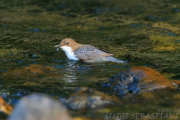 Dipper, white-throated