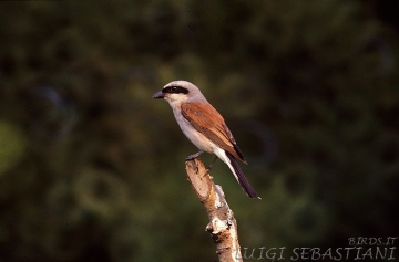 Shrike, red-backed