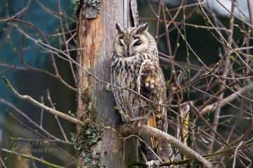 Owl, long-eared