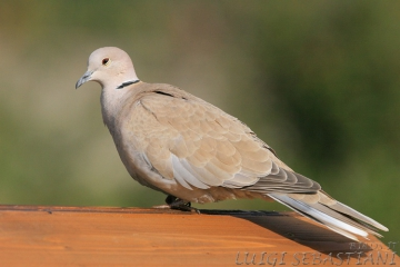 Dove, collared