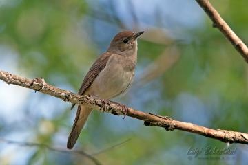 Nightingale (common)