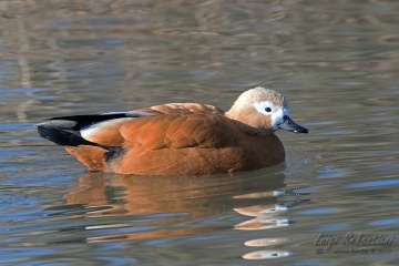Shelduck, ruddy