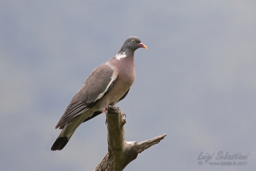 Pigeon, (common) wood