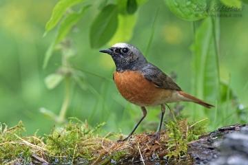 Redstart (common)