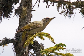 Woodpecker, grey faced