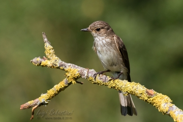 Flycatcher, spotted