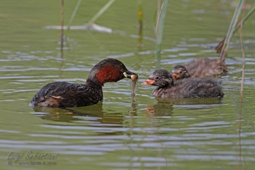 Grebe, little