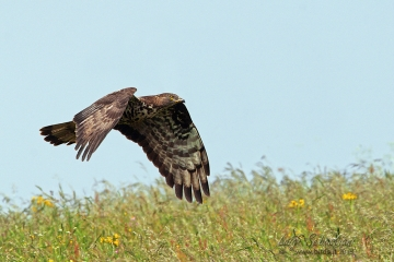 Buzzard, honey
