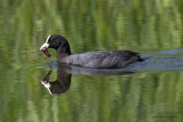 Coot (common)