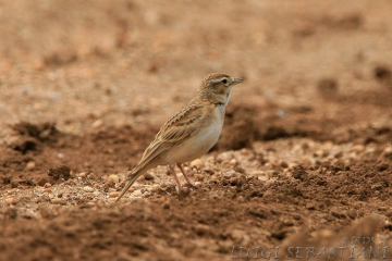 Lark, red-capped