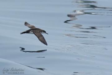 Levantine shearwater