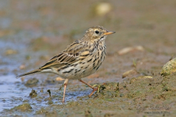 Pipit, meadow