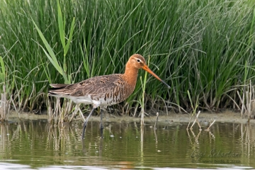 Godwit, black-tailed