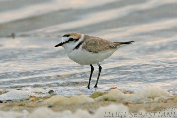 Plover, kentish
