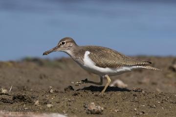 Sandpiper (common)
