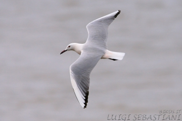 Gull, slender-billed