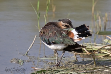 Lapwing (northern)