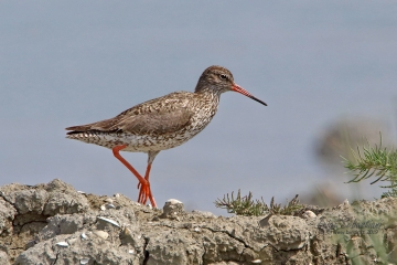 Redshank (common)