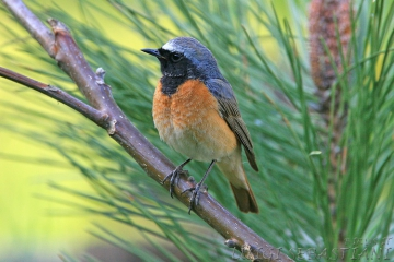 Redstart (common)