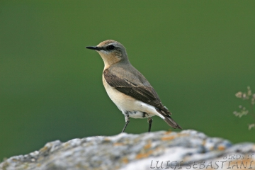 Wheatear (northern)