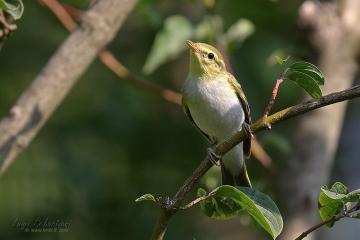 Warbler, wood