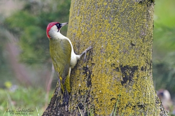 Woodpecker, green