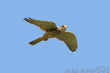 Kestrel (common)