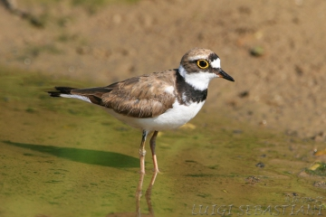 Plover, little ringed