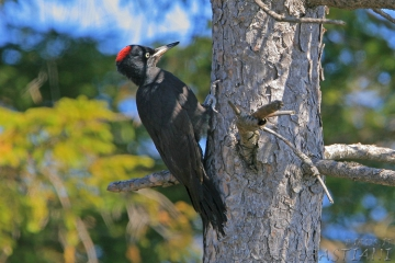 Woodpecker, black