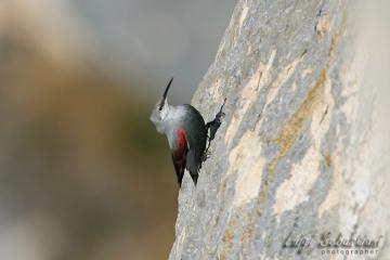 Picchio muraiolo