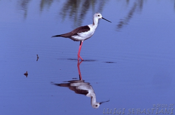 Stilt, black-winged