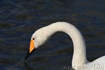 Swan, whooper