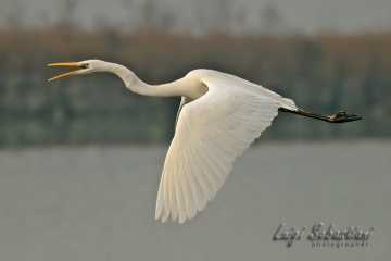 Egret, great white