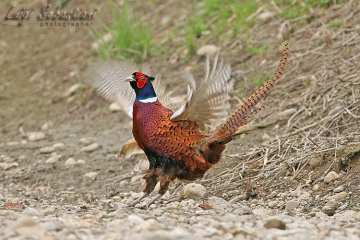 Pheasant (common)