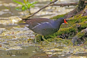 Moorhen (common)