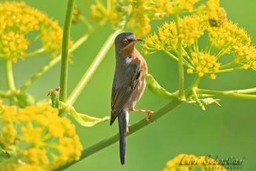 Warbler, subalpine