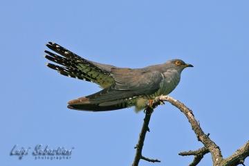 Cuckoo (common)