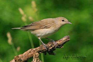 Warbler, garden