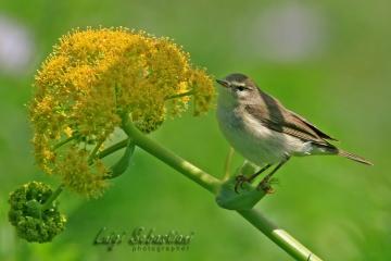 Warbler, willow