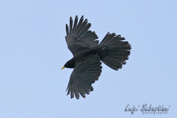 Chough, alpine