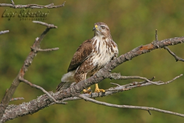 Buzzard (common)