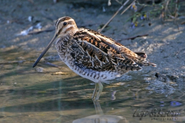 Snipe (common)