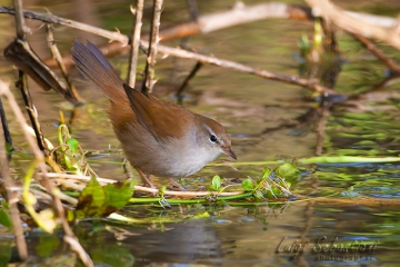 Warbler, cetti's