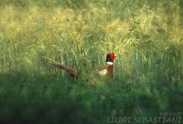 Pheasant (common)