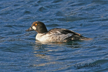 Goldeneye (common)